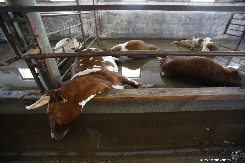 погибшие коровы