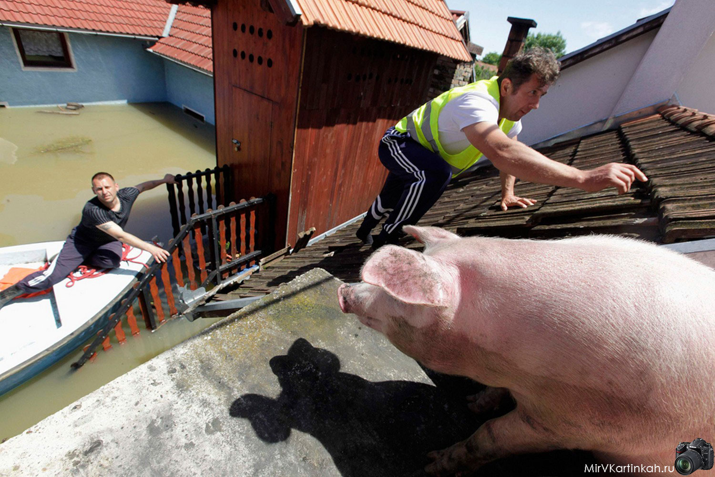 свинья на крыше