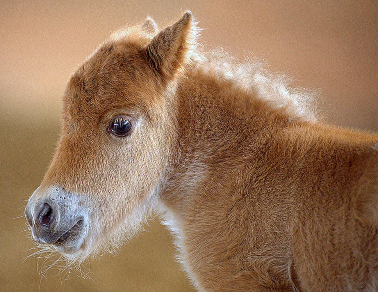 жеребенок мини лошадки, фото