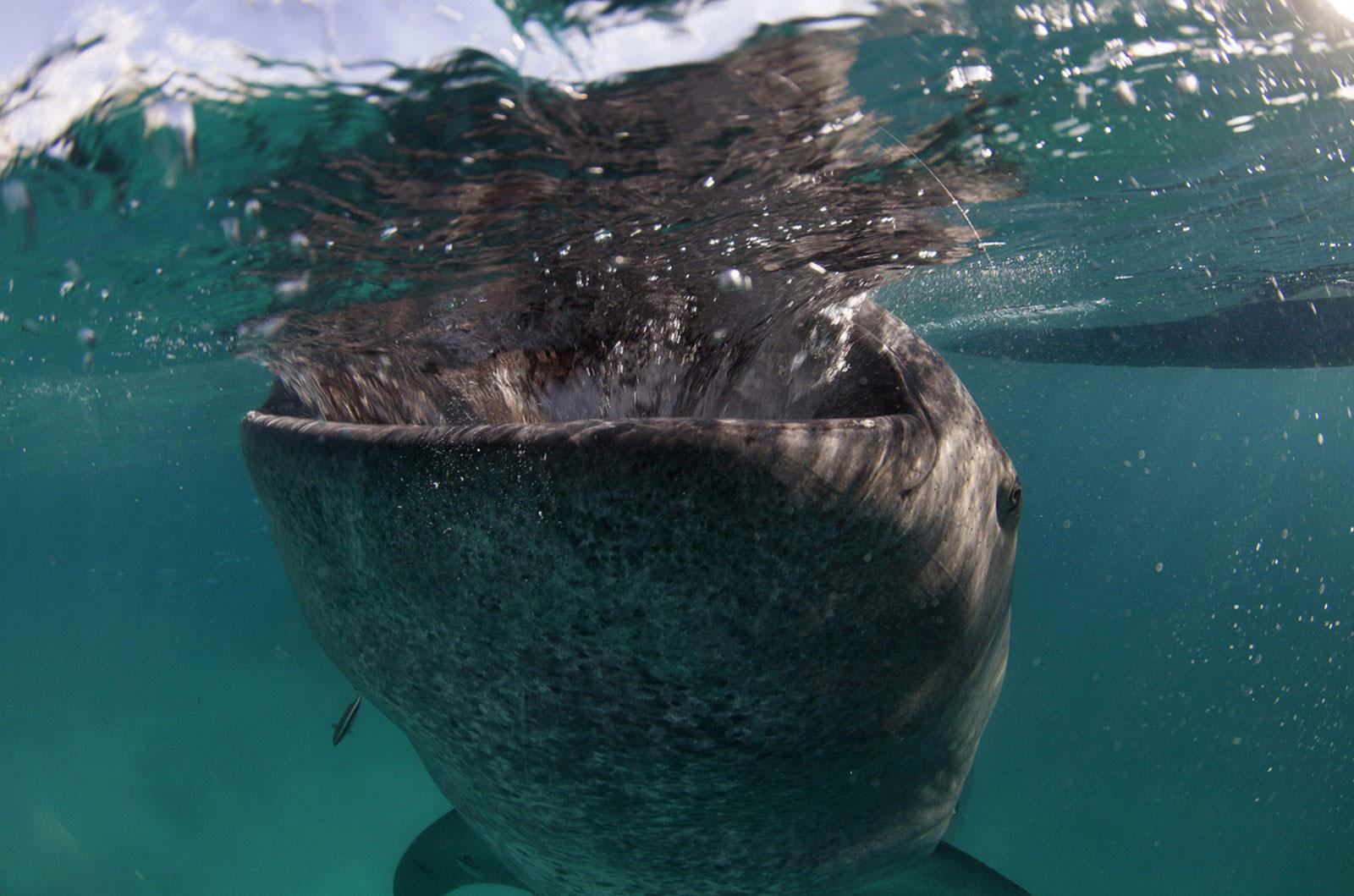 кормление китовой акулы, фото