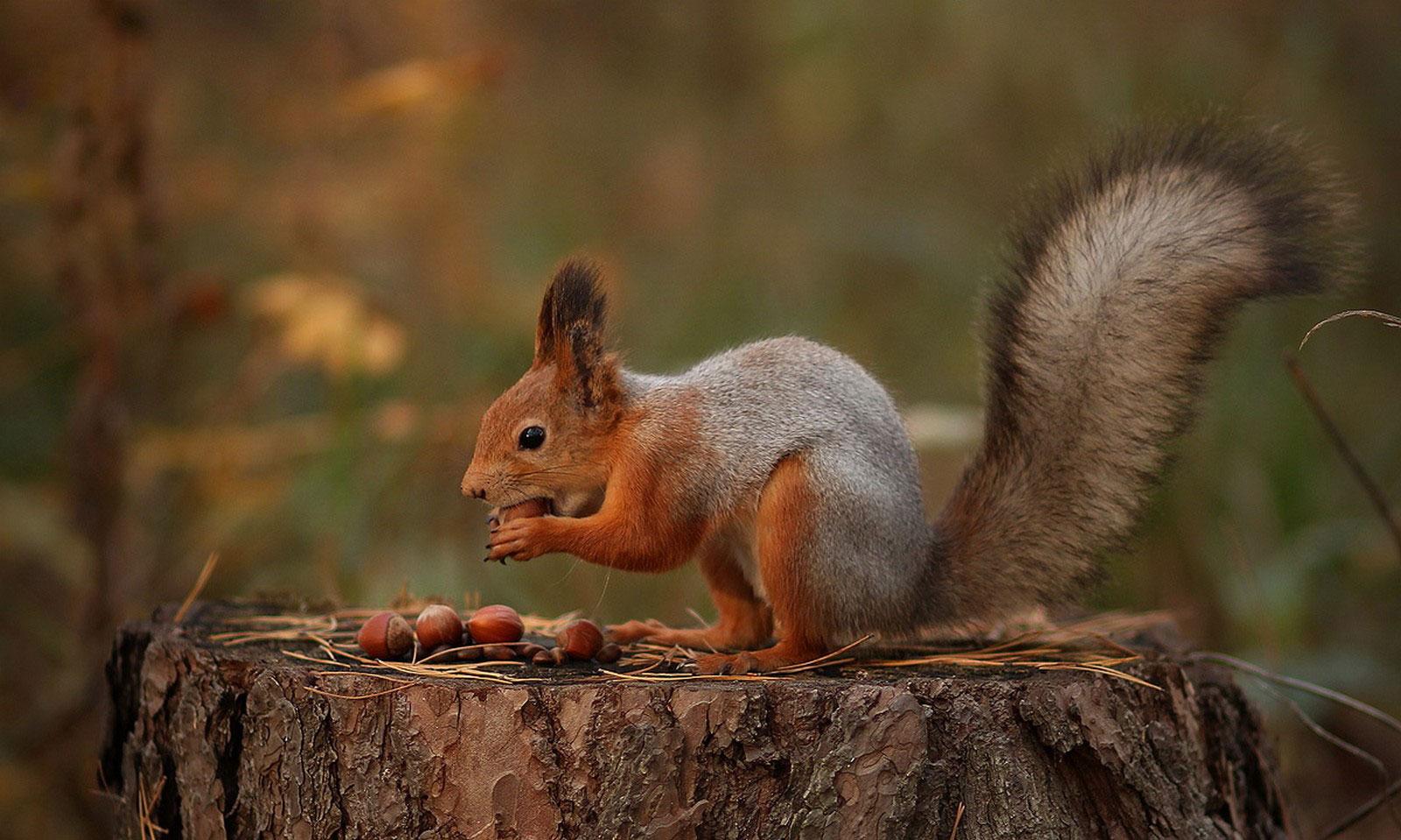белка с орехами