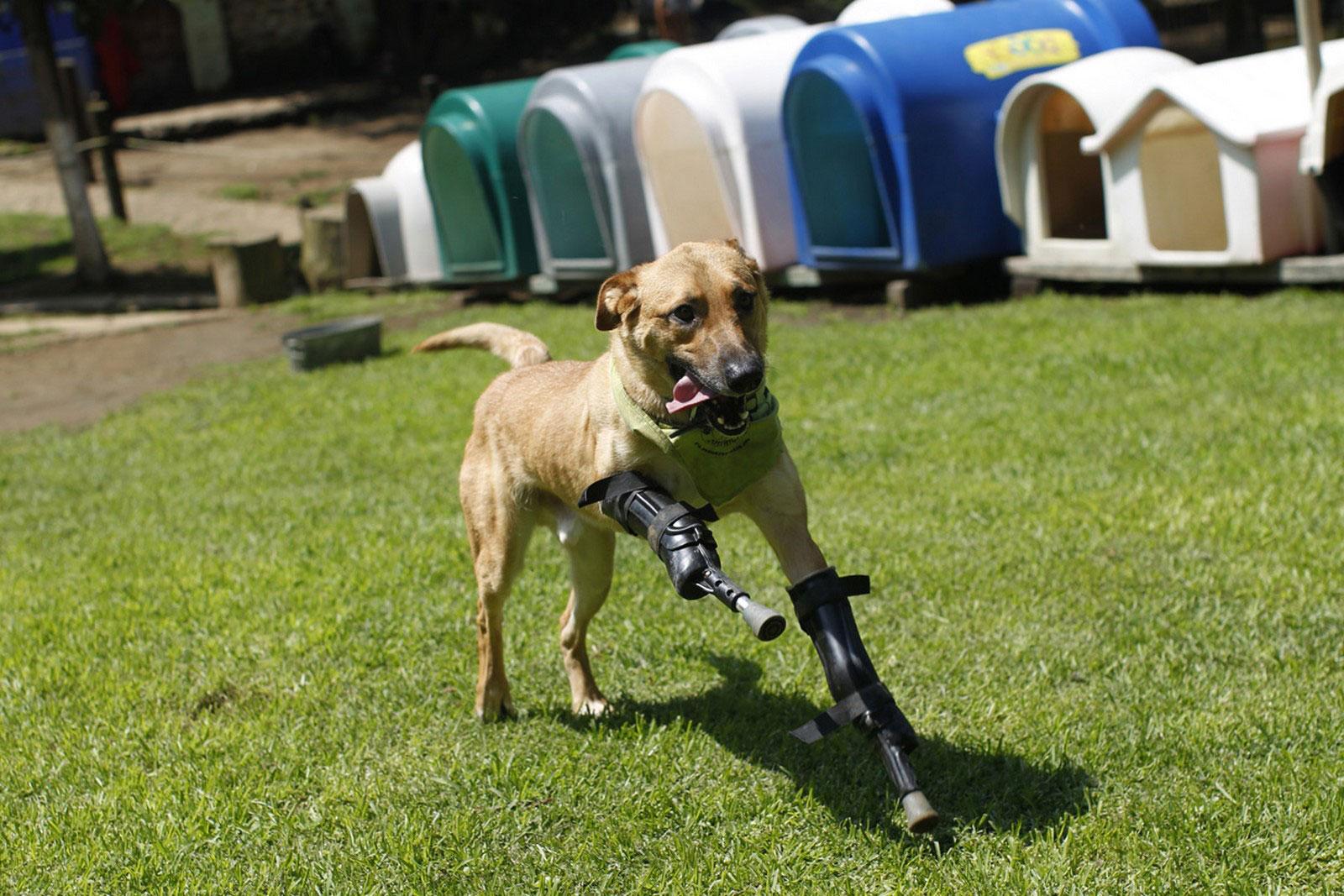 собака с протезами вместо лап