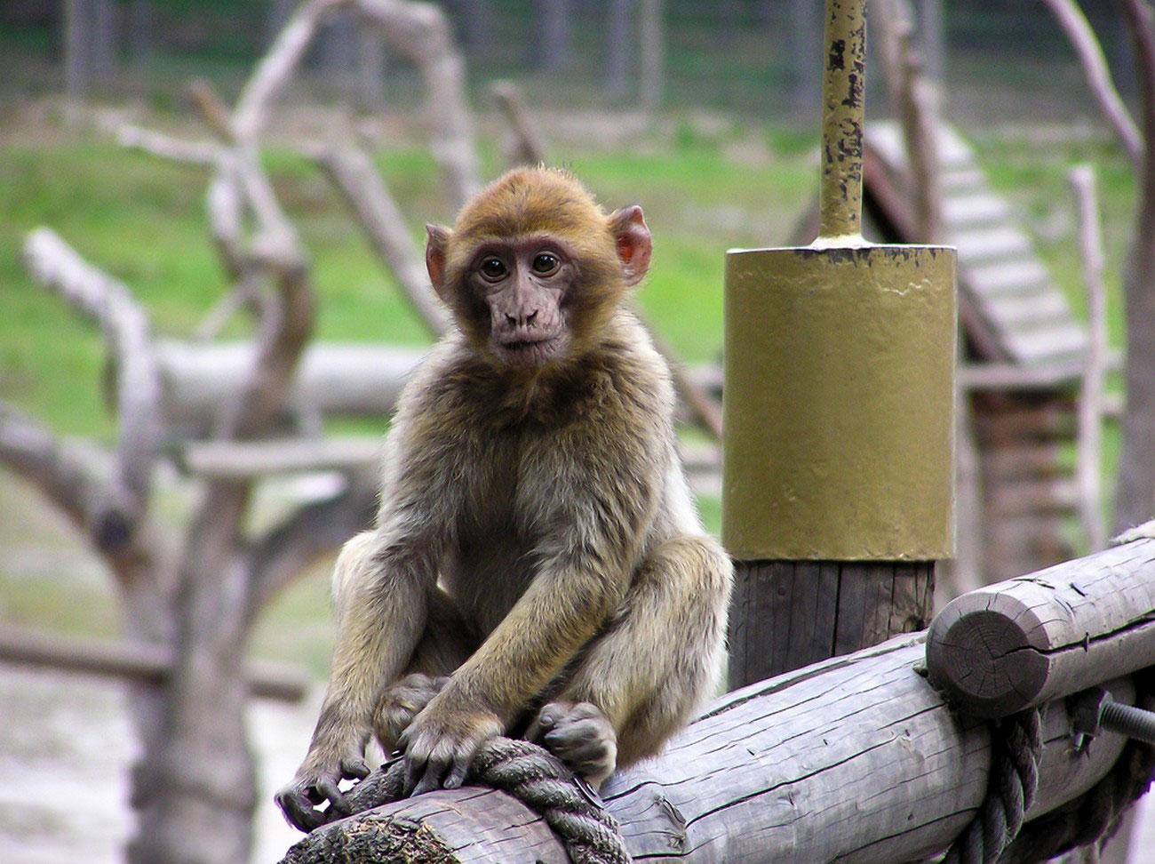 обезьянка на пне