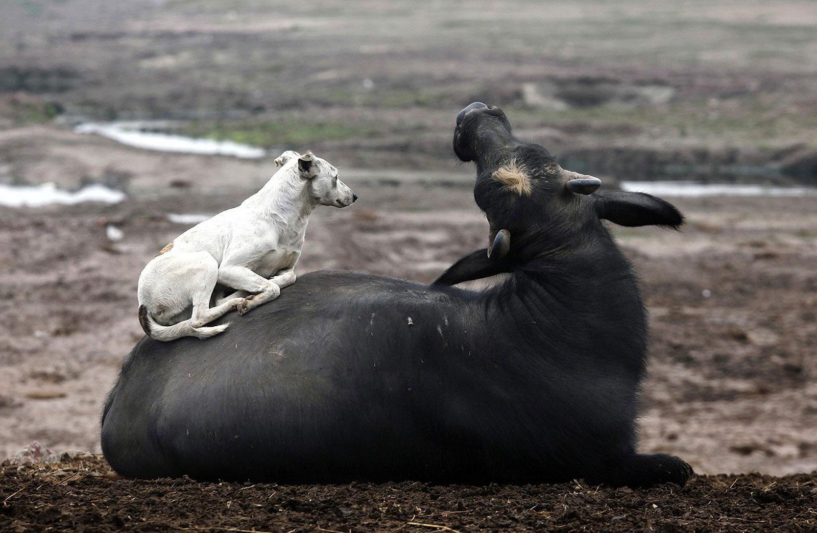 собака отдыхает на бизоне