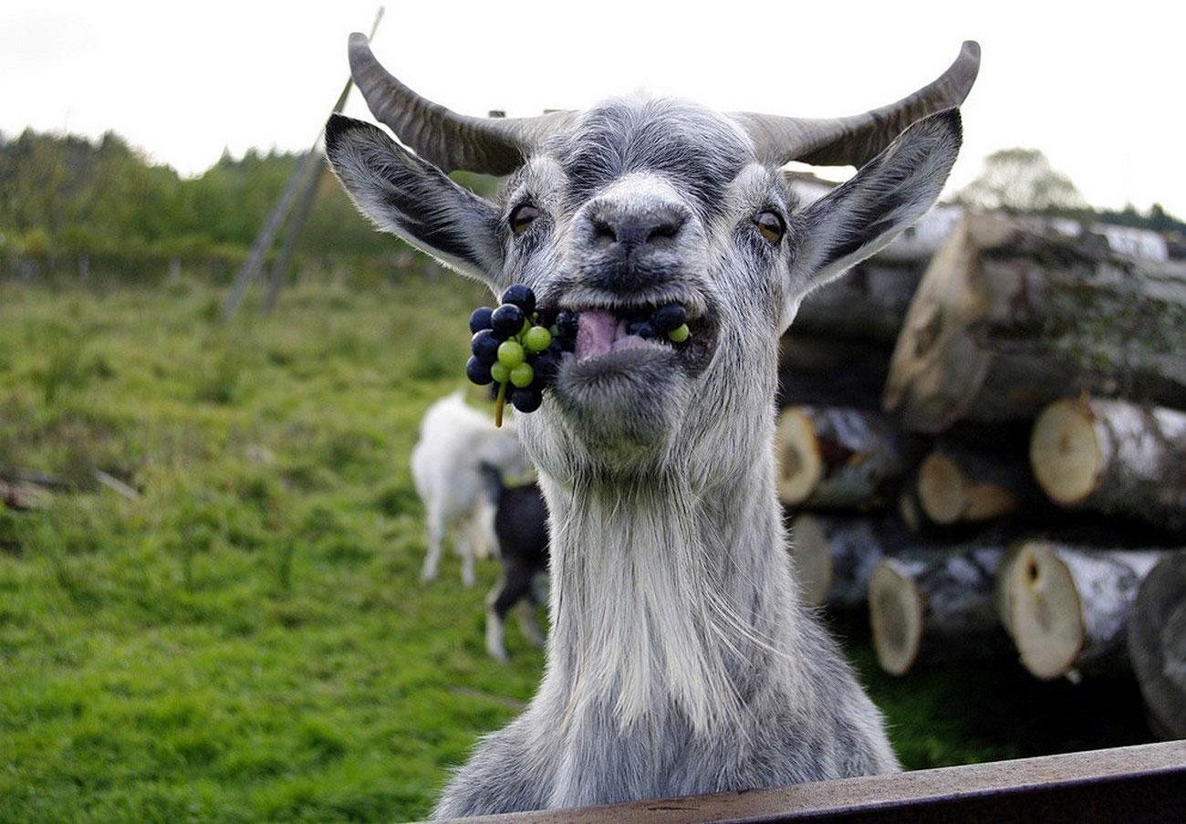 коза с виноградом