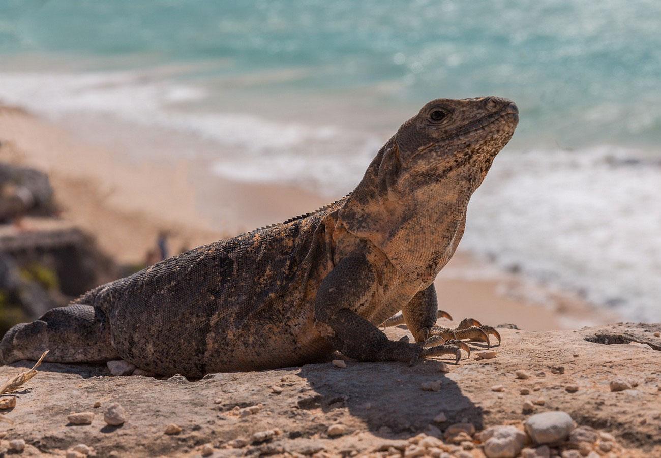 ящер на пляже