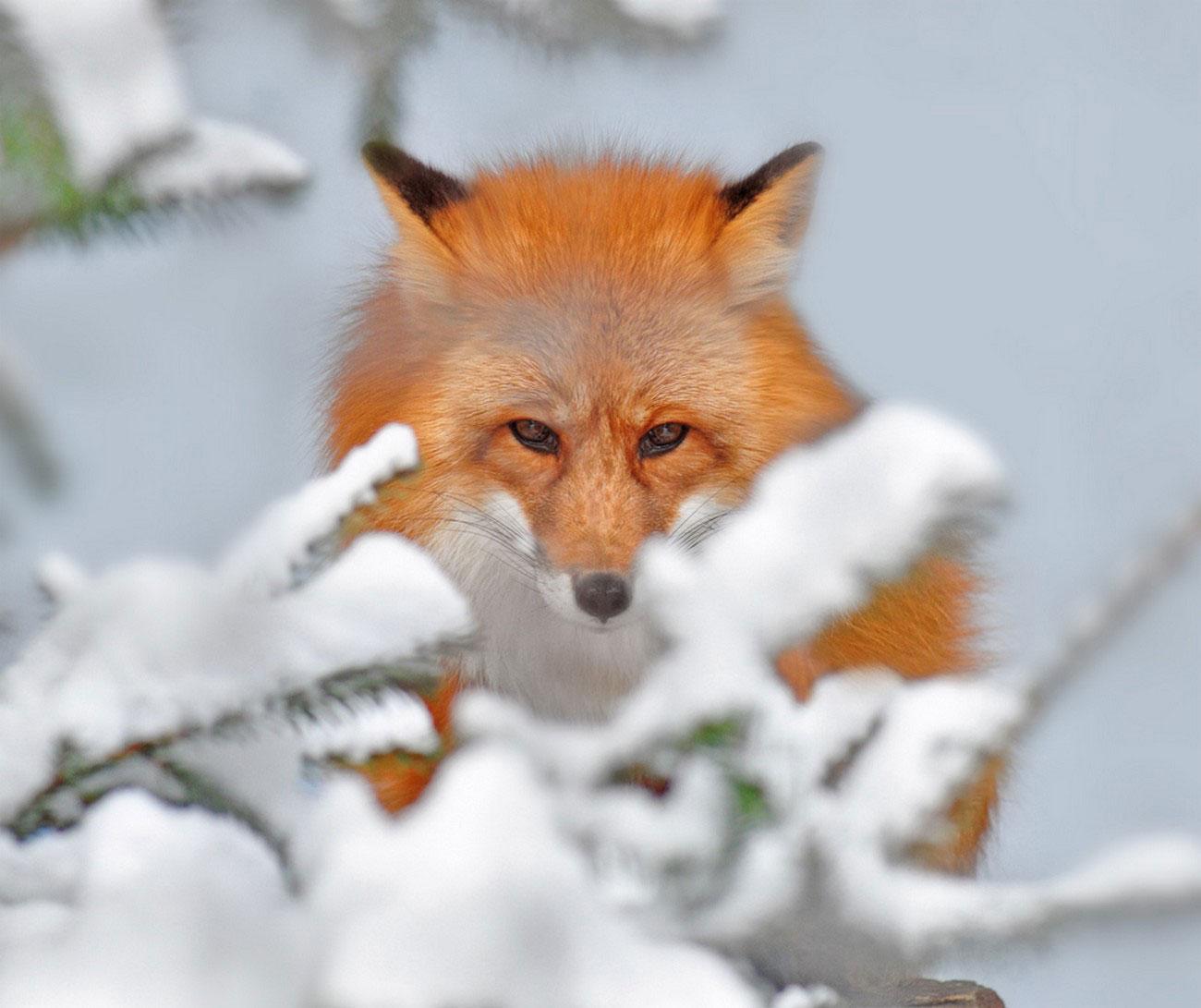 лисица в кустах