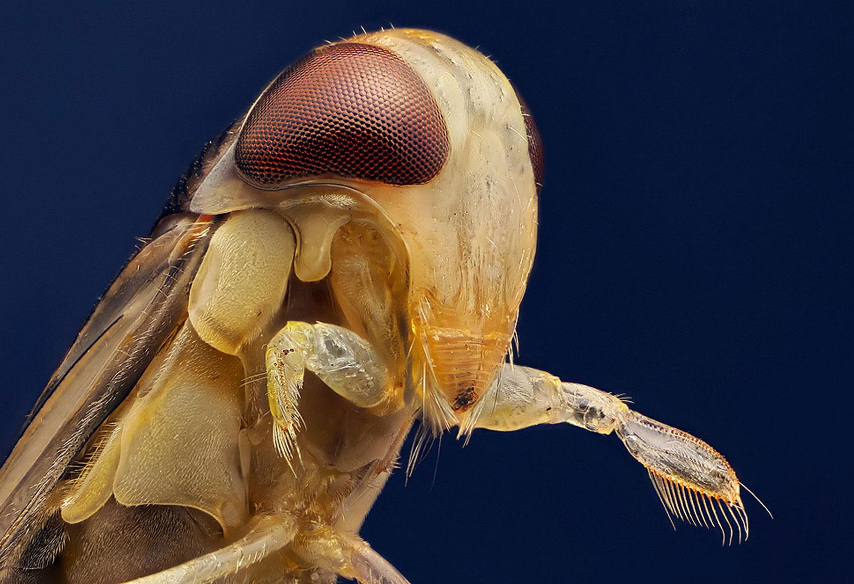 Водяной клоп, фото насекомого