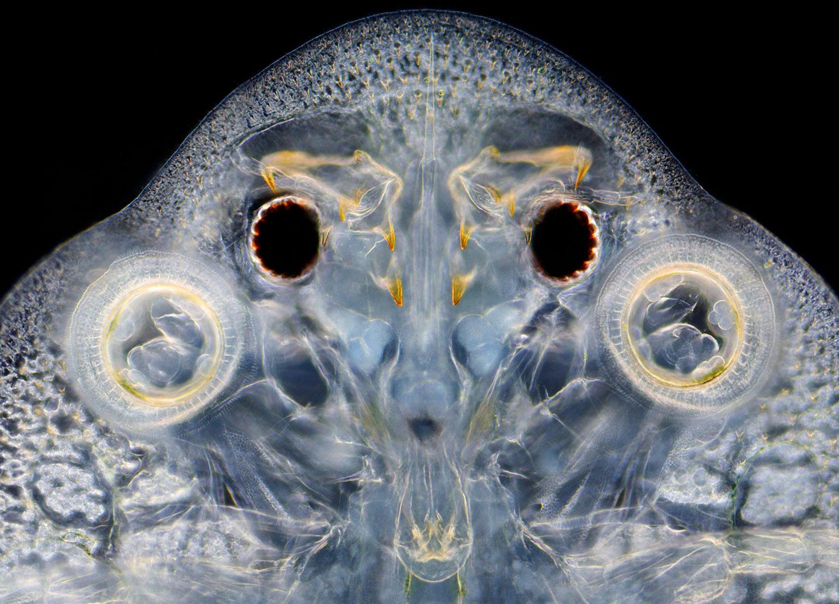 рыбья вошь, фото насекомого