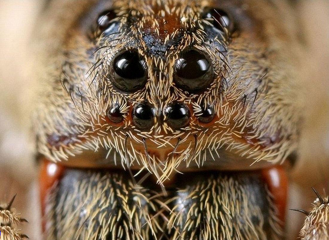 Голова паука-скакуна, фото насекомого