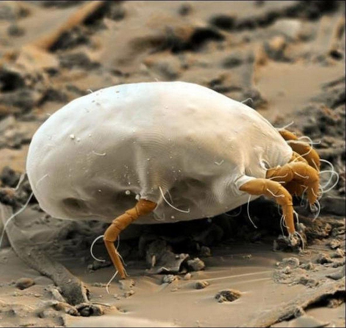 клещ под микроскопом, фото насекомого