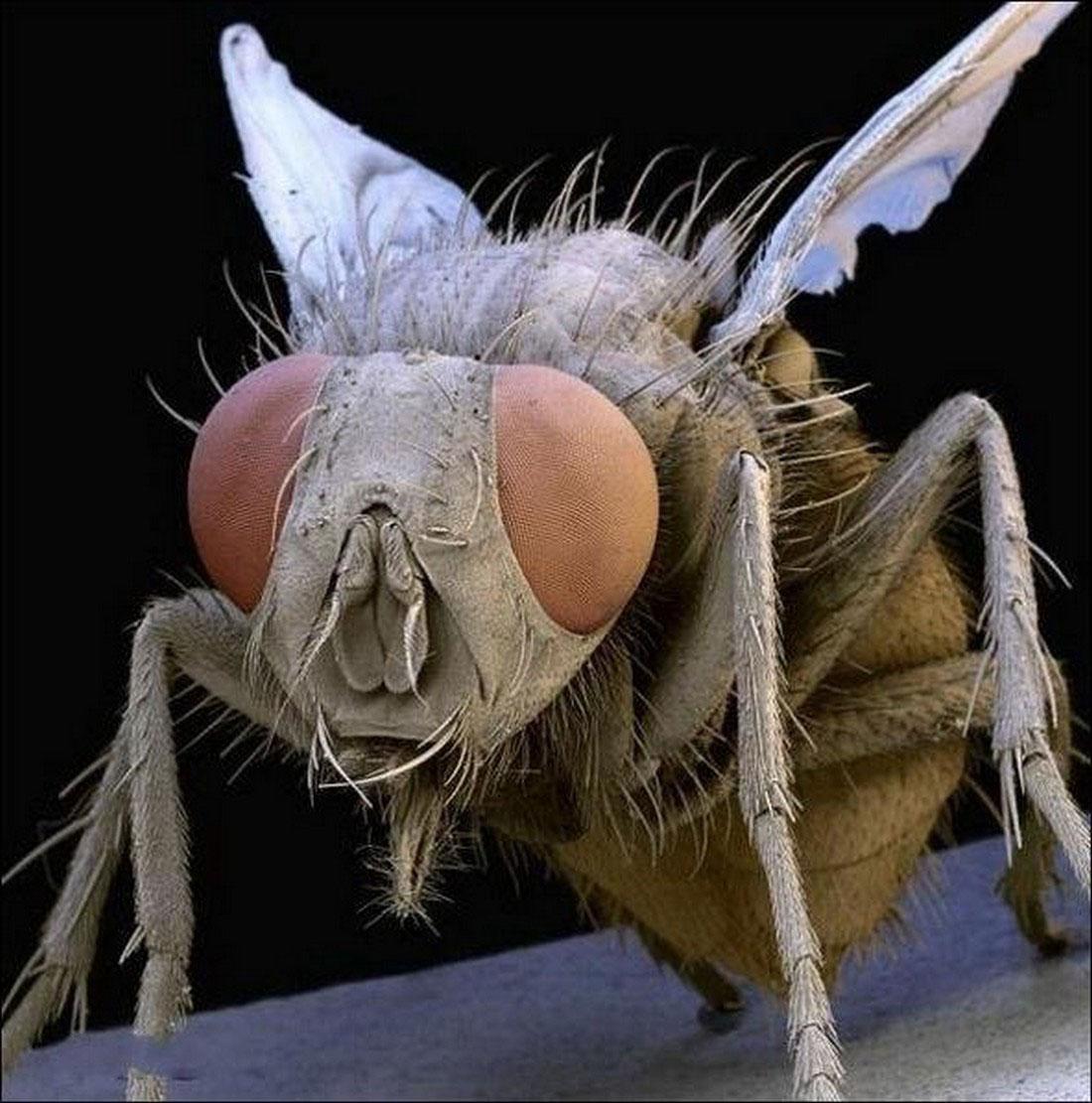 муха, фото насекомого