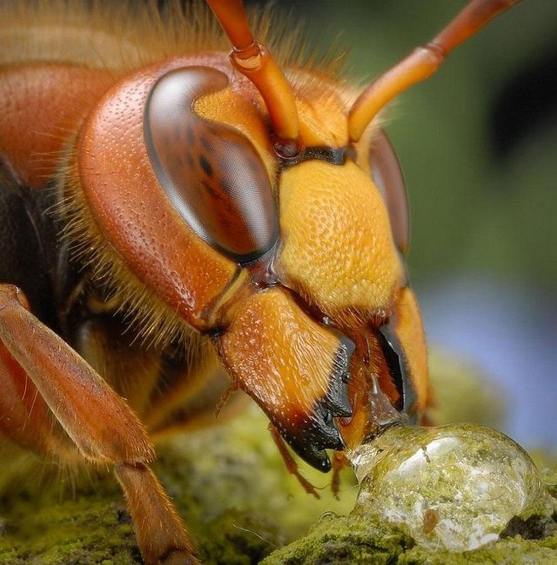 пчела, фото