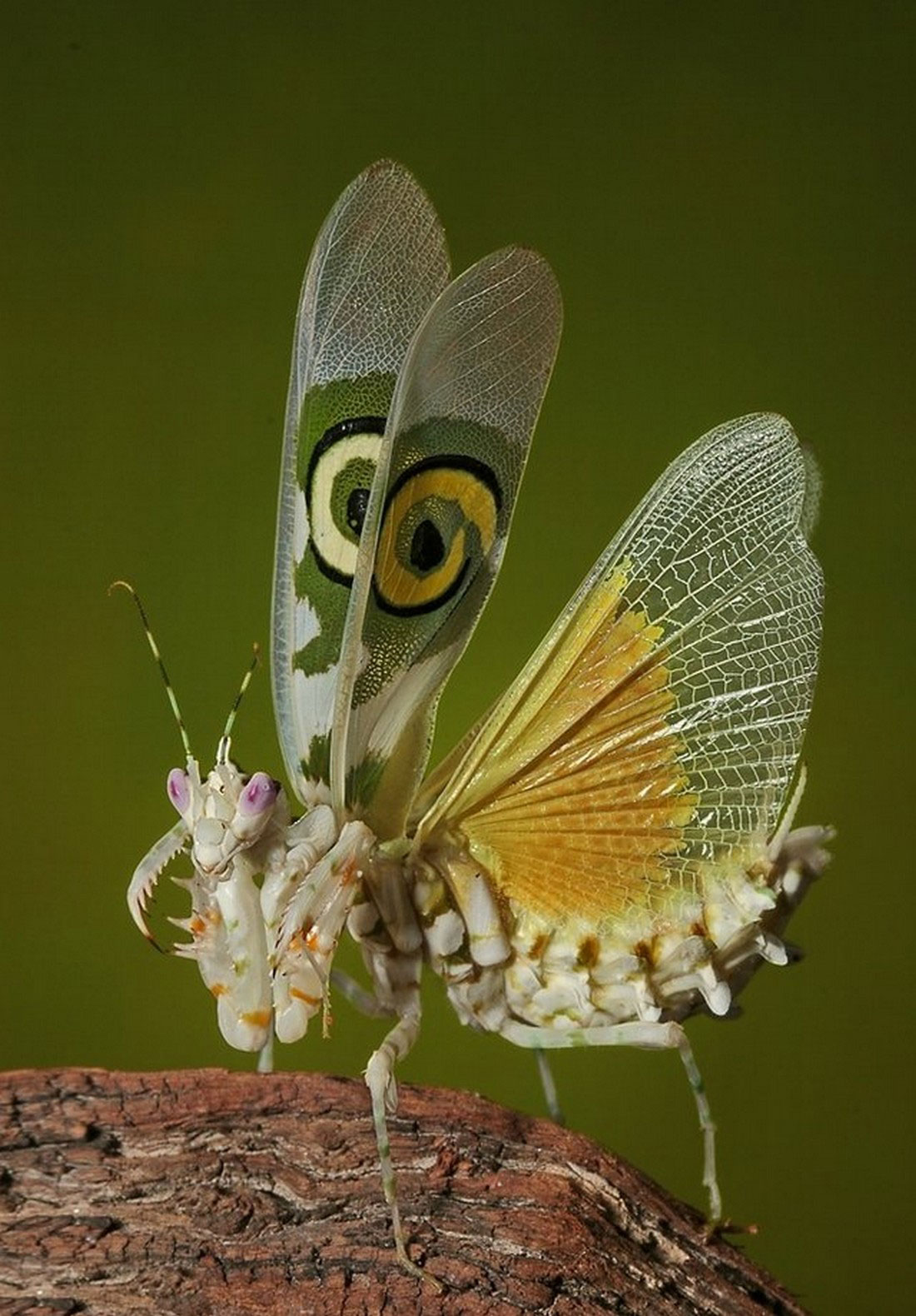 богомол с крыльями, фото