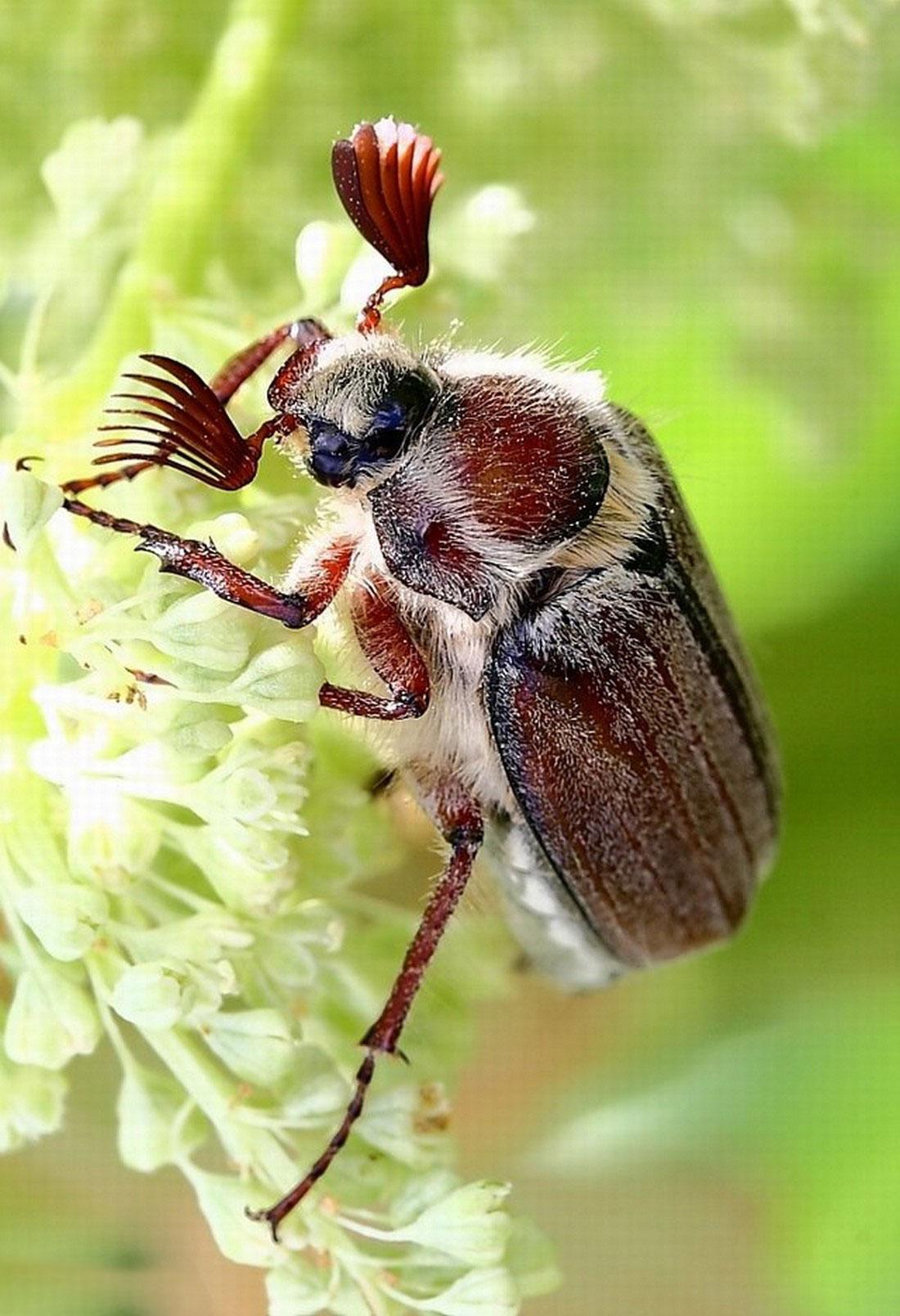 жук большой, фото насекомого
