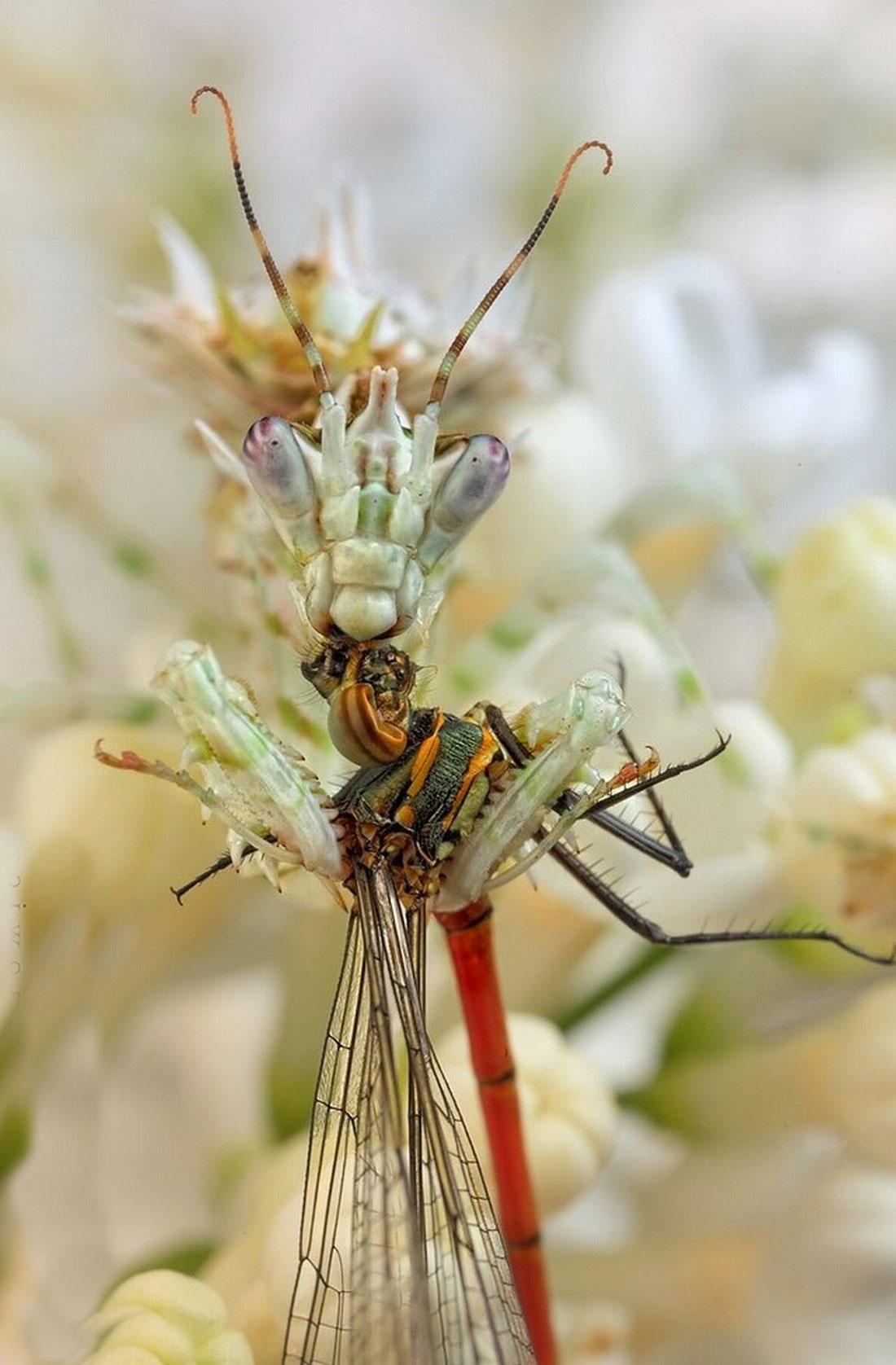 богомол на охоте, фото насекомого