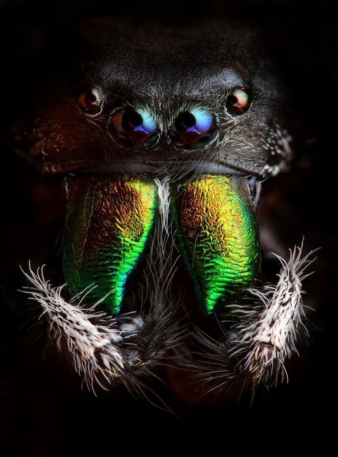 паук скачущий, фото