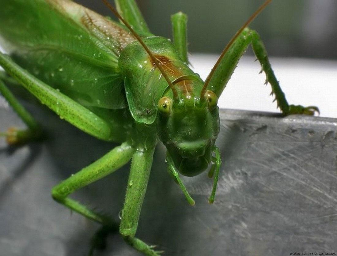 Кузнечик на листке, фото насекомого