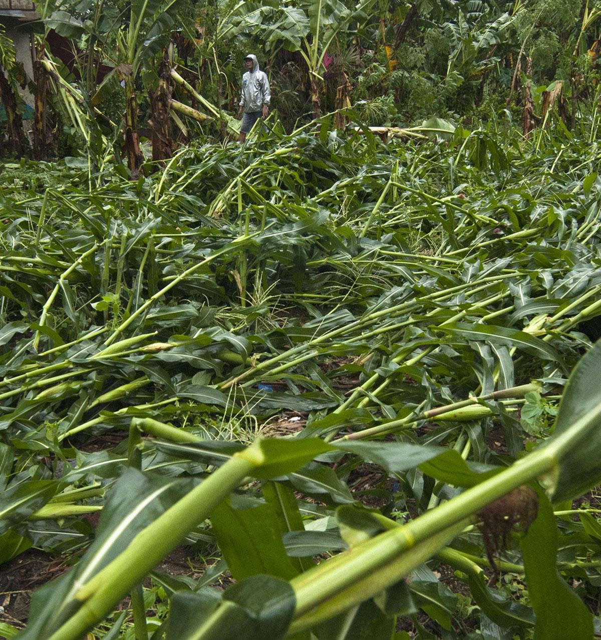 побитое ураганом кукурузное поле