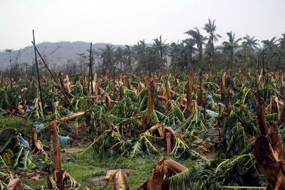Банановые деревья сломанные ураганом