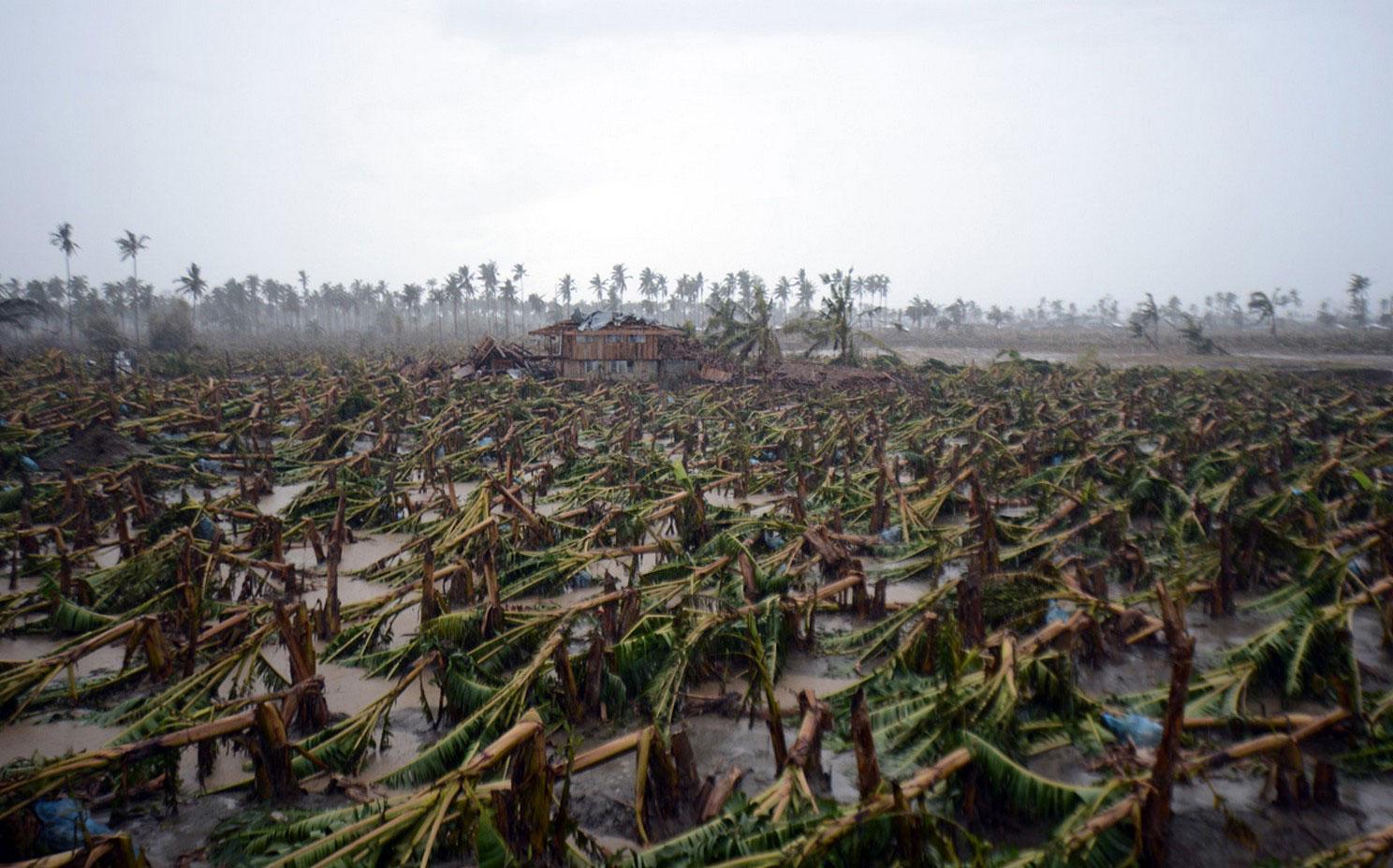 погибшие банановые деревья на Филиппинах