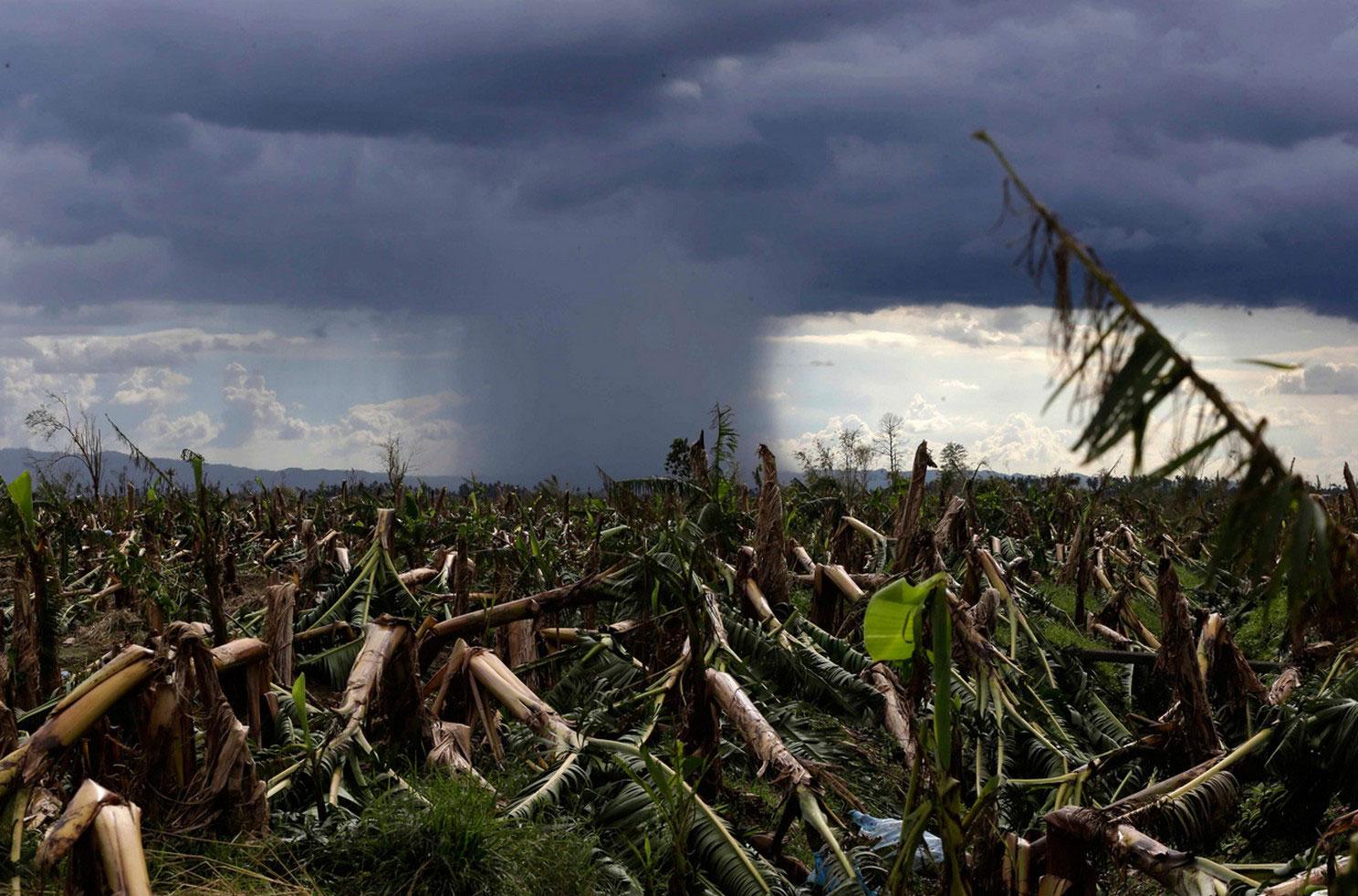 банановая плантация после урагана на Филиппинах