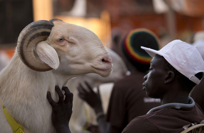 овцы Дакара, фото из царства животных
