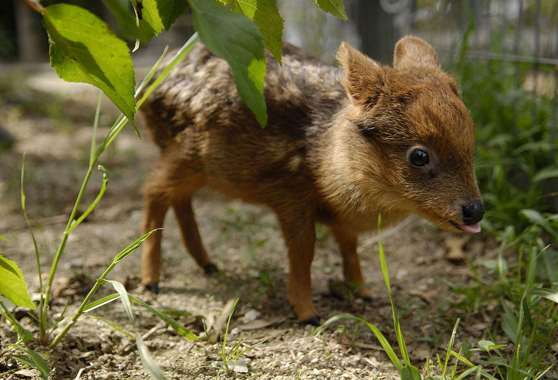 олень Пуду, фото из царства животных