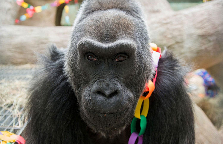 горилла, фото