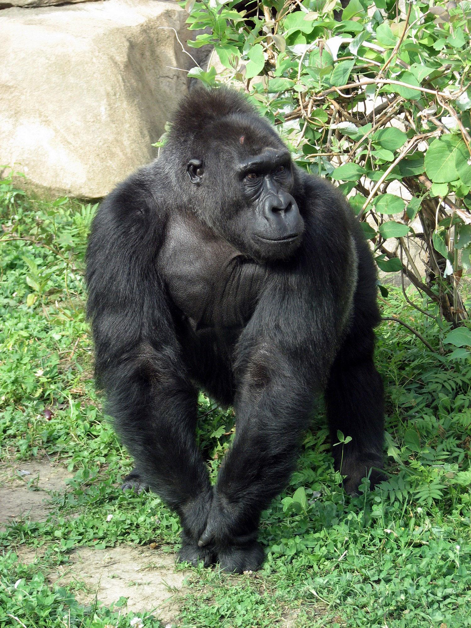 самец гориллы, фото из царства животных