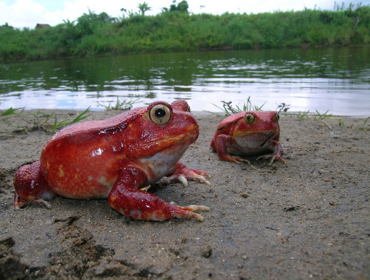лягушка томатный узкорот, фото из царства животных