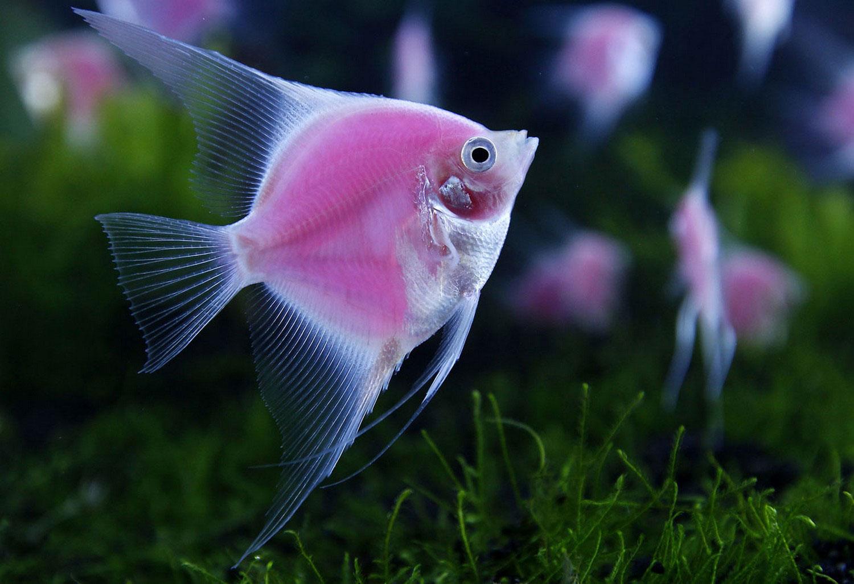 Светящиеся скалярии, фото рыб