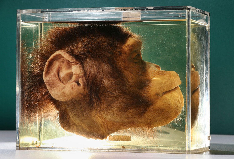 шимпанзе в разрезе, фото