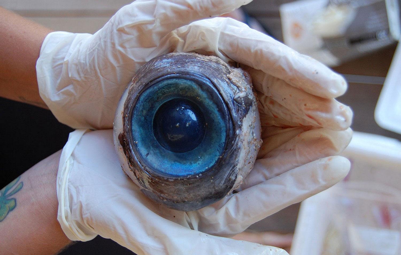 глаз рыбы-меч, фото