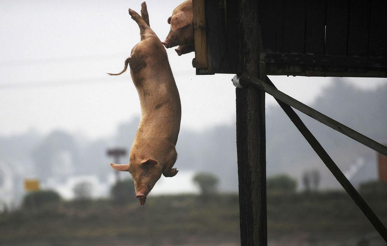 свиньи, фото из царства животных