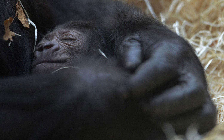 горилла с детенышем, фото