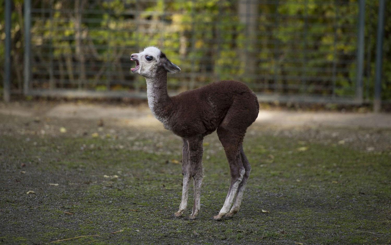 Новорожденный альпака, фото из царства животных