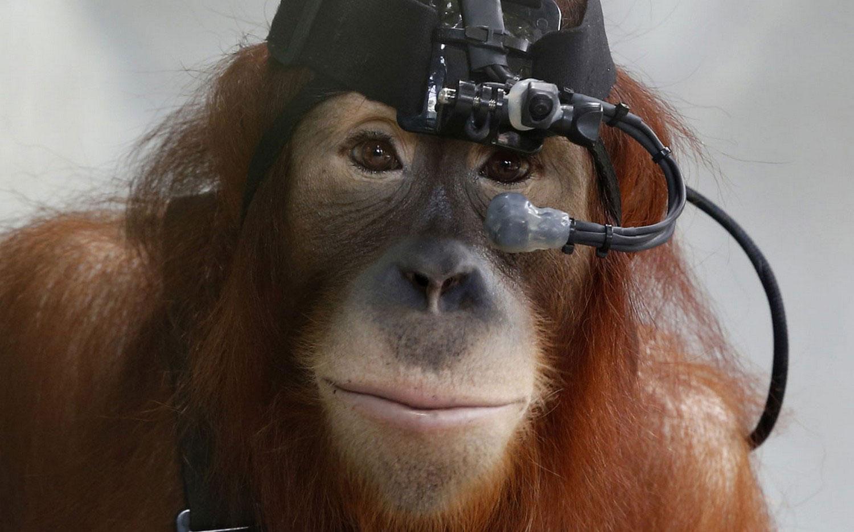 суматранский орангутанг, фото