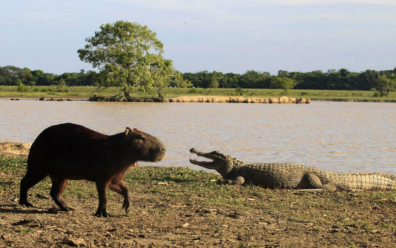 кайман и капибара, фото из царства животных