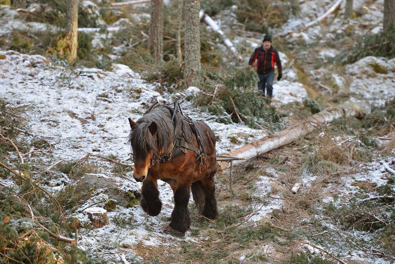 бельгийская лошадь, фото