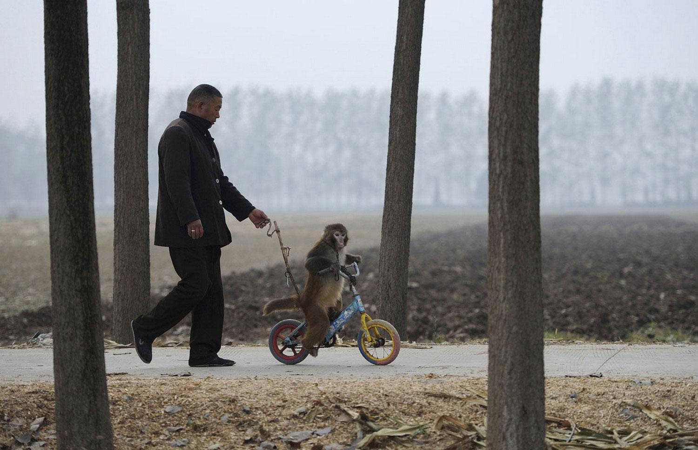 макака на велосипеде, фото из царства животных
