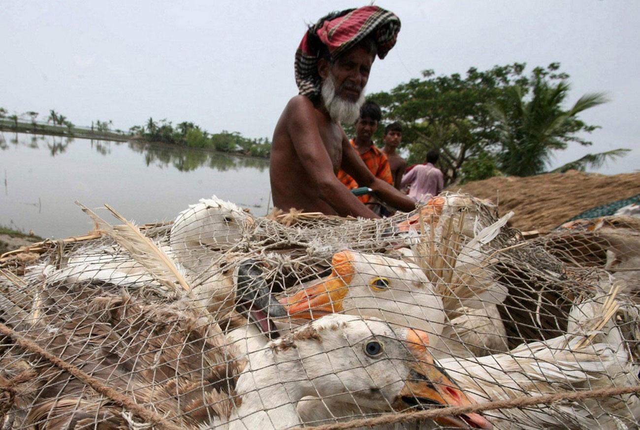 продажа уток в Бангладеше