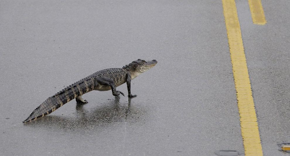 аллигатор в штате Техас, США, фото