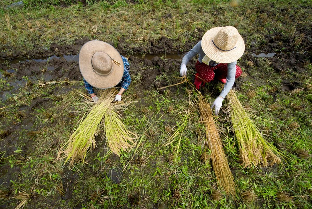 Молодежь собирает урожай риса