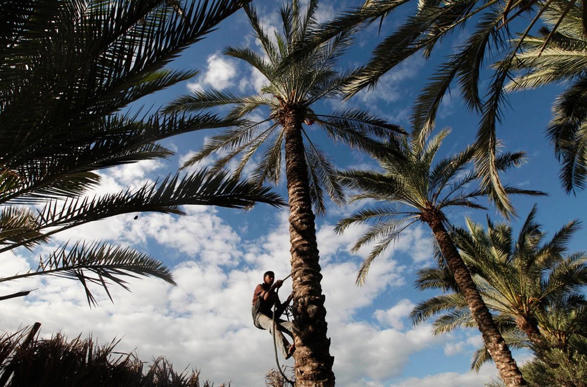 Палестинец взбирается на пальму
