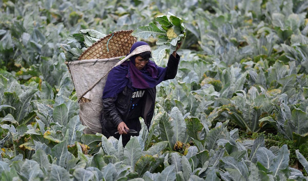 мужчина собирает капусту