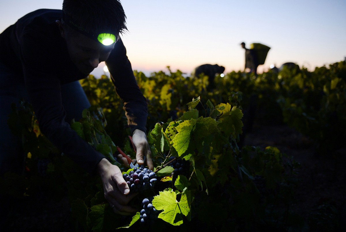 рабочий за сбором винограда