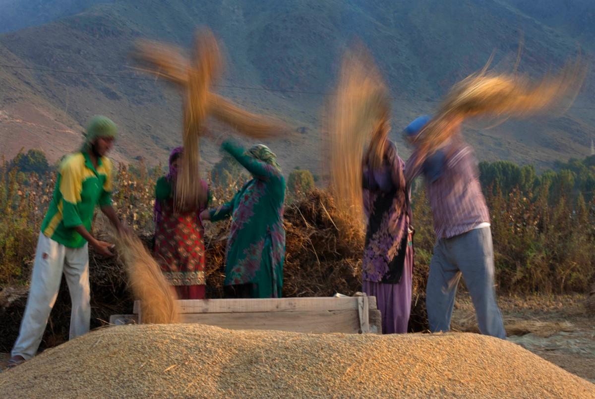 заготовка риса