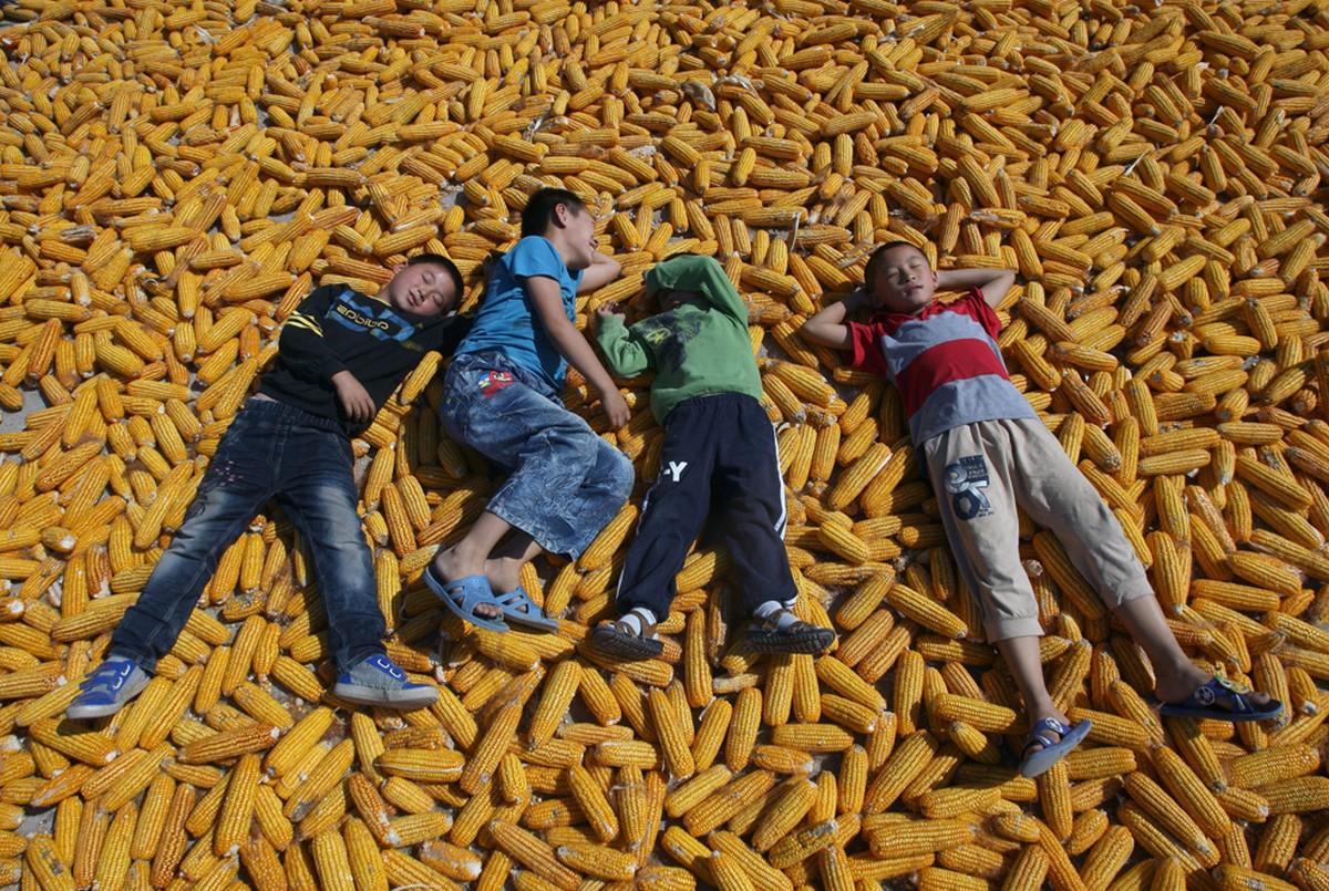 дети в кукурузе