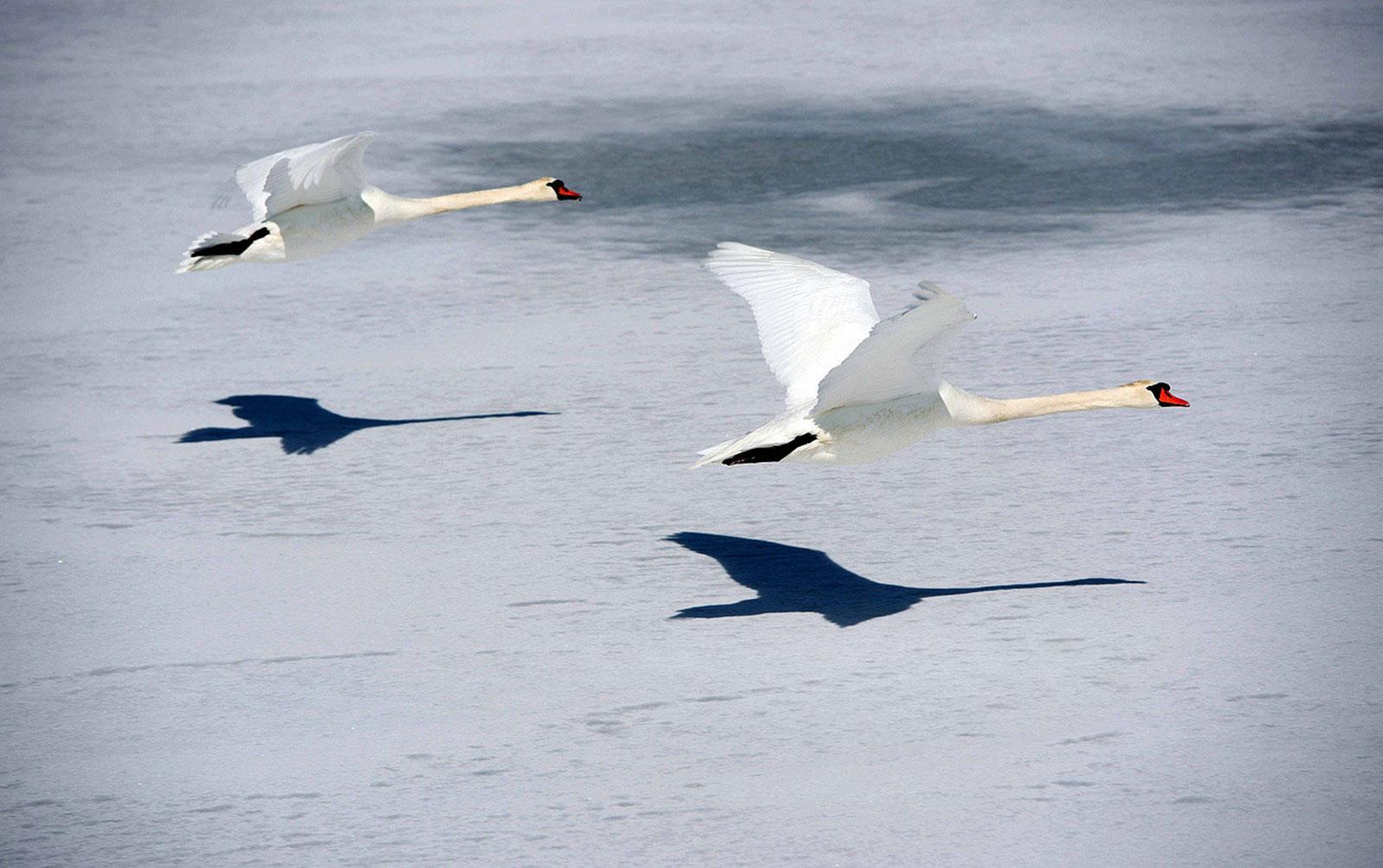 полет лебедей